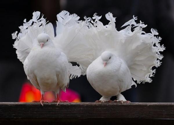 Ташкентцев приглашают на Фестиваль декоративных голубей