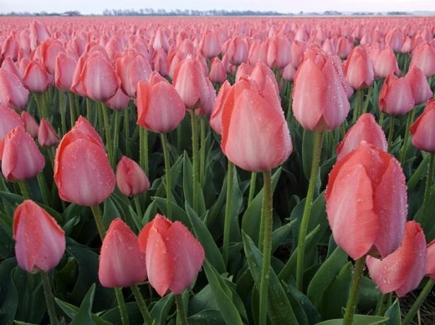 Фермер из Нидерландов собирается выращивать голландские тюльпаны в Намангане