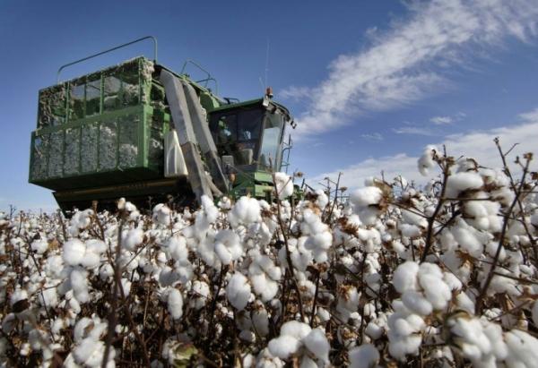 Хлопково-текстильные кластеры займут в Узбекистане в 2019 году  300 тысяч гектаров посевных площадей