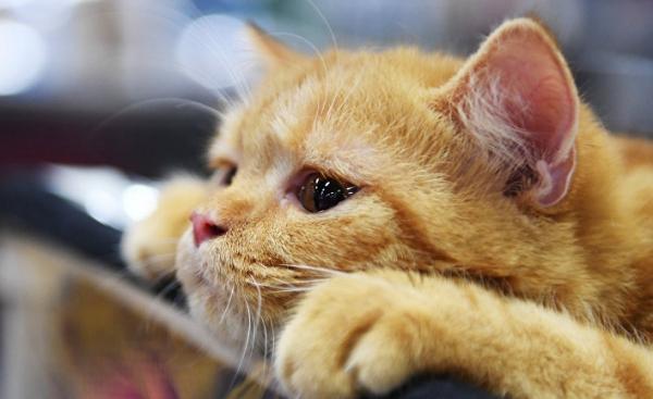 Dagens Nyheter (Швеция): как кошки разговаривают с людьми