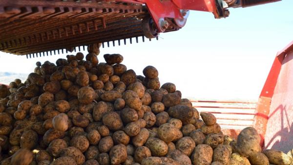 В Узбекистане впервые пройдет Международный день картофеля