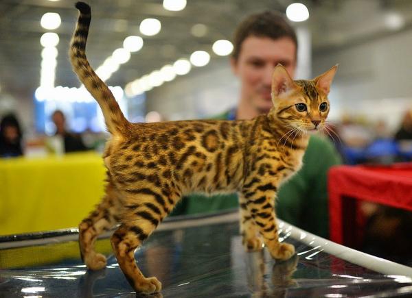 Редкие породы кошек представят на выставке CAT WORLD 2019 в Ташкенте