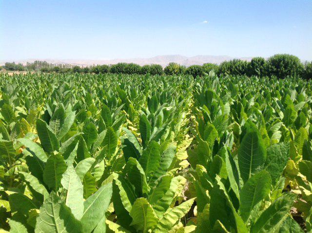 """Директор Ургутского филиала СП """"Узбат А.О"""": о развитии и перспективах табаководства в Узбекистане"""