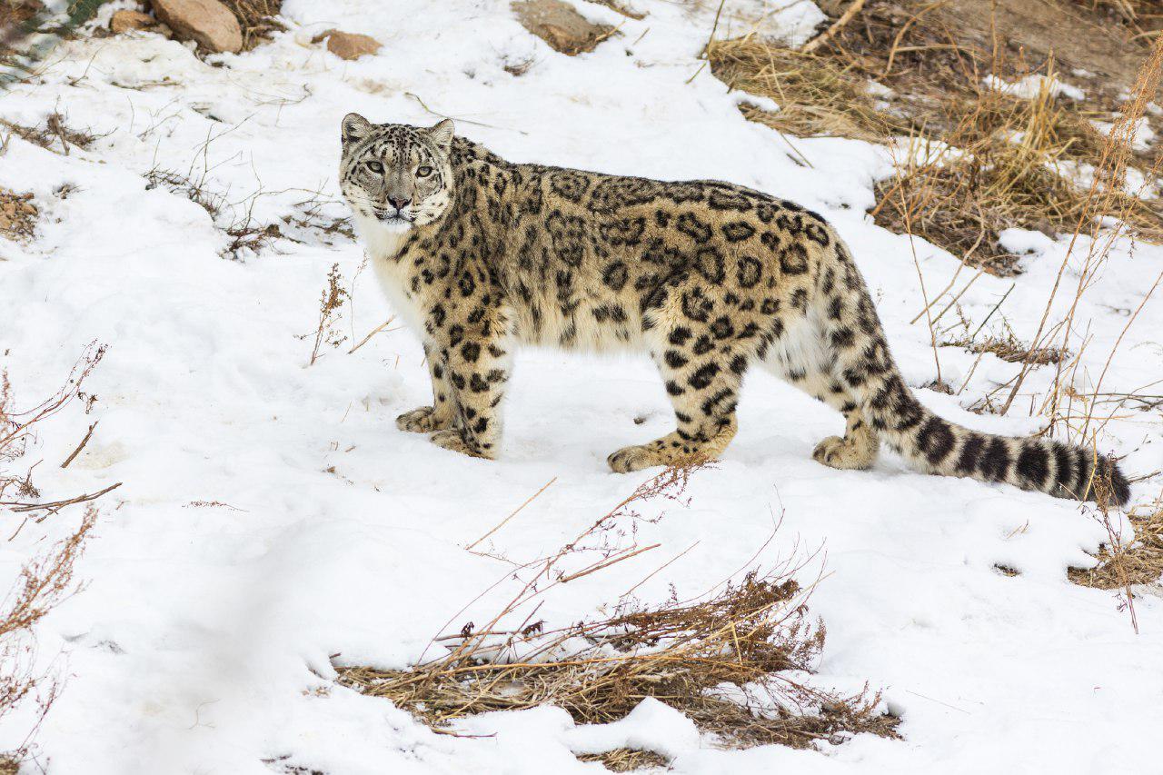 Природоохранное сообщество обсудит проблемы сохранения популяции снежного барса в Нур-Султане