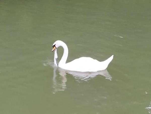 Посетители Ташкентского зоопарка рассказали, как лебедь давился пакетом у них на глазах