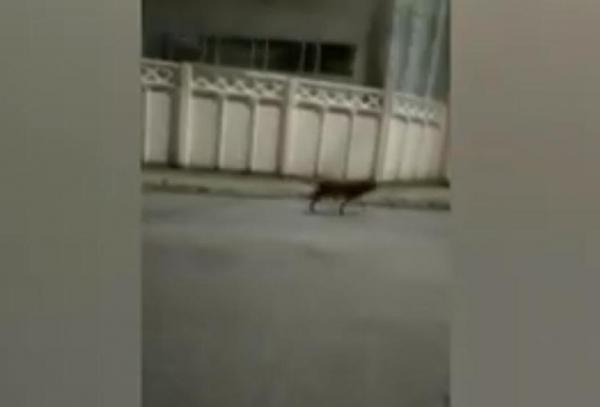 По улицам Ташкента бродил одинокий волк (видео)
