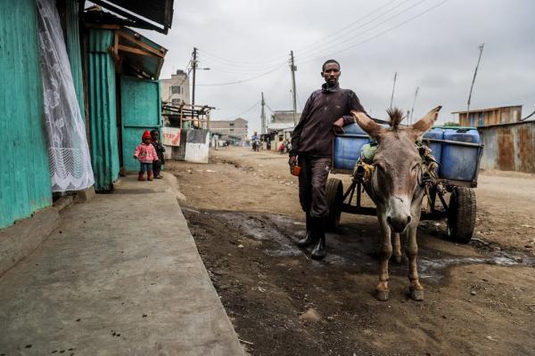 Китай отбирает у Африки ослов - и делает из них желатин