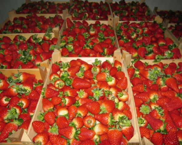 В Узбекистане началось промышленное выращивание в теплицах клубники и бананов