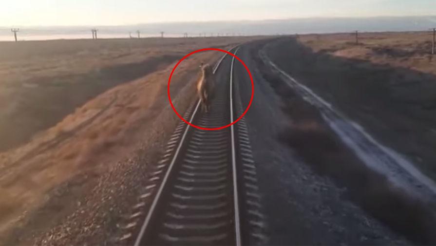 Упрямый верблюд задержал пассажирский поезд из Ташкента в Москву