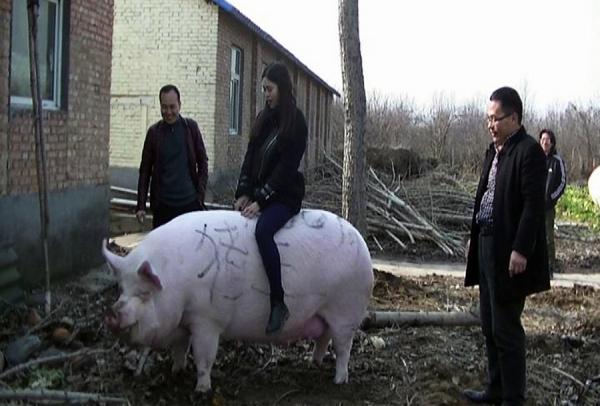 Как свиньи в Китае стали причиной кибервойны между бандитами и фермерами