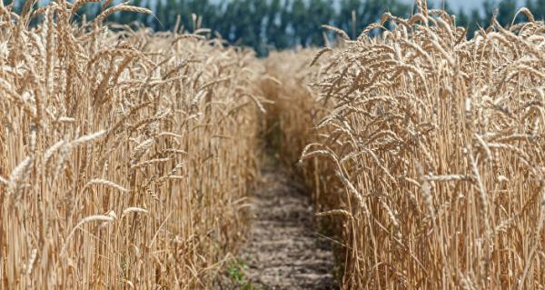 Казахстан поднял цену пшеницы для Узбекистана на 37,4 процента