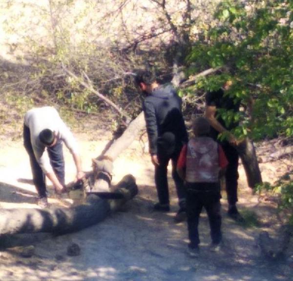 «Лесорубы» не ушли на карантин: в Карши деревья рубят, в Ташкенте – выдёргивают с корнем (видео)